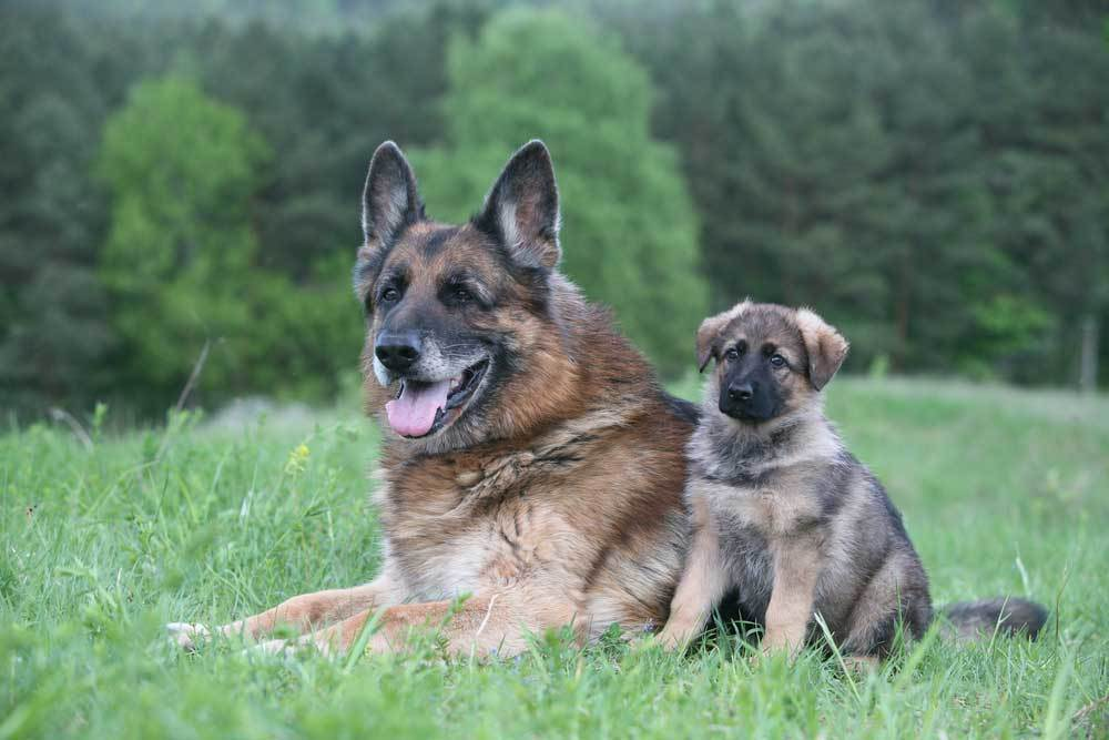 Adult and Puppy German Shepherds laying in grassy field