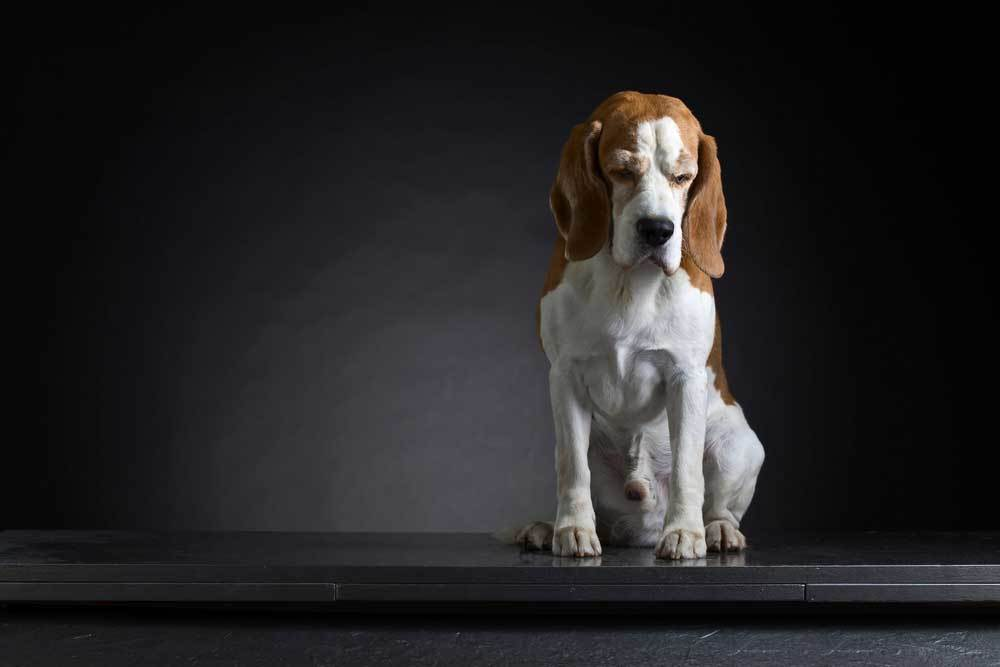 Depressed beagle sitting on black surface with black and gray background.