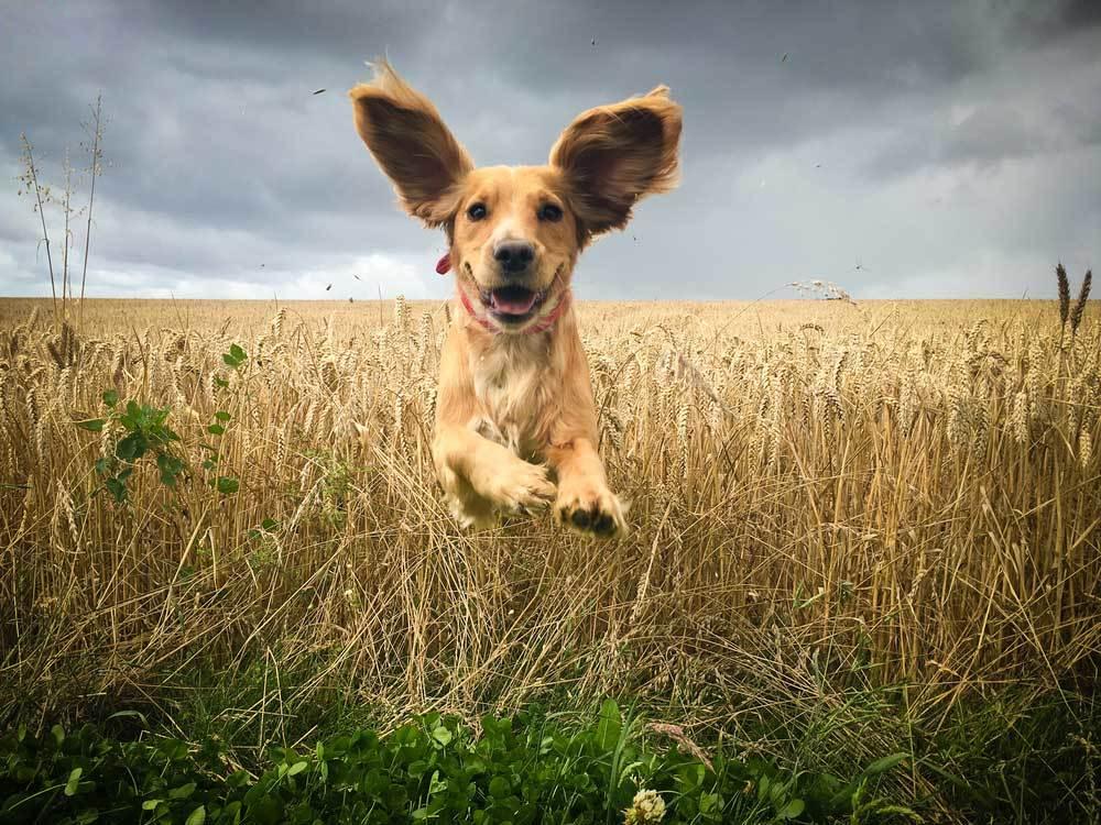Cocker Spaniel running through wheat field