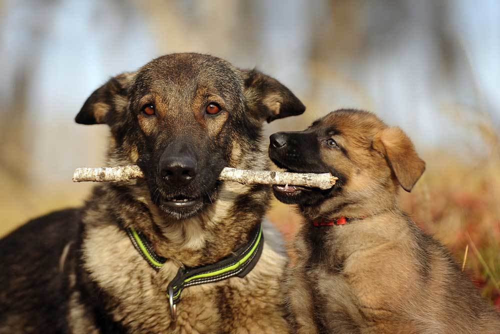 Adult  dog with stick in mouth and puppy trying to take the stick.