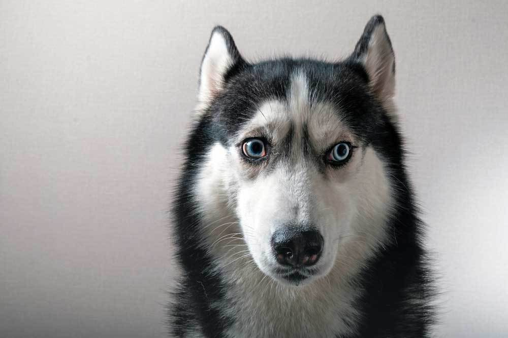 Husky staring at camera with wide open eyes
