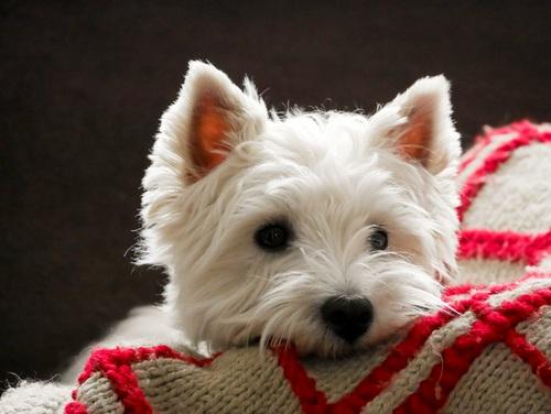 west highland terrier on red blanket