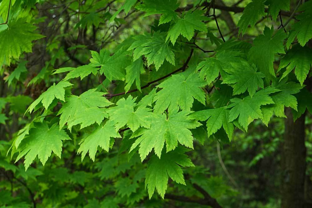 Amur Maple