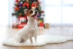 jack russell terrier in front of christmas tree