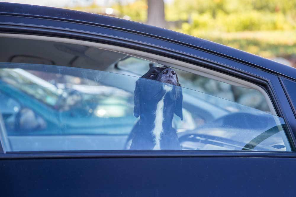 Black and white dog inside of a car with its nose poking out of a slightly cracked window
