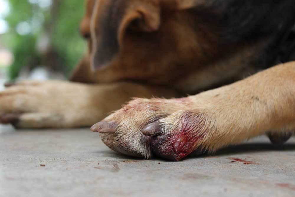close up of dog's bleeding paw
