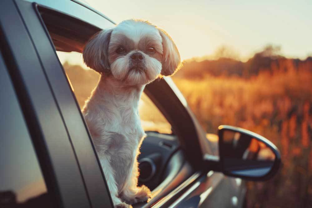 small dog standing in car with paws on sill of open window