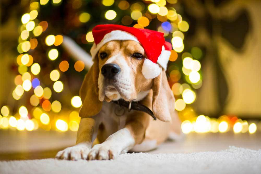 Beagle wearing santa hat in front of christmas tree