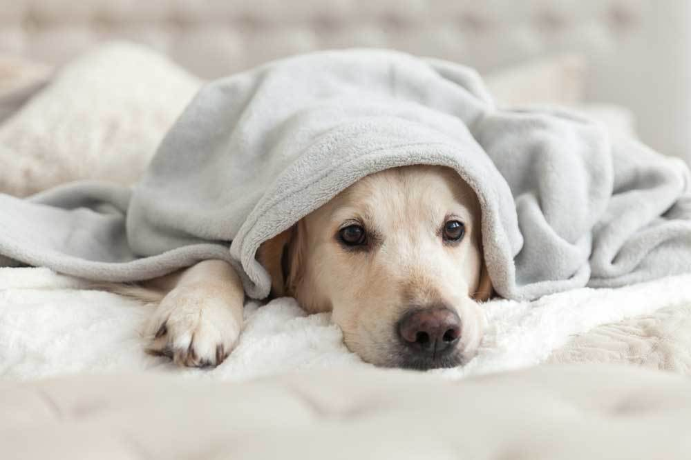 Dog laying on bed with head poking out from under blanket