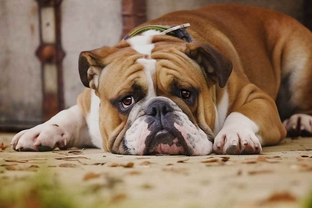 bulldog laying on leaf covered concrete looking ill