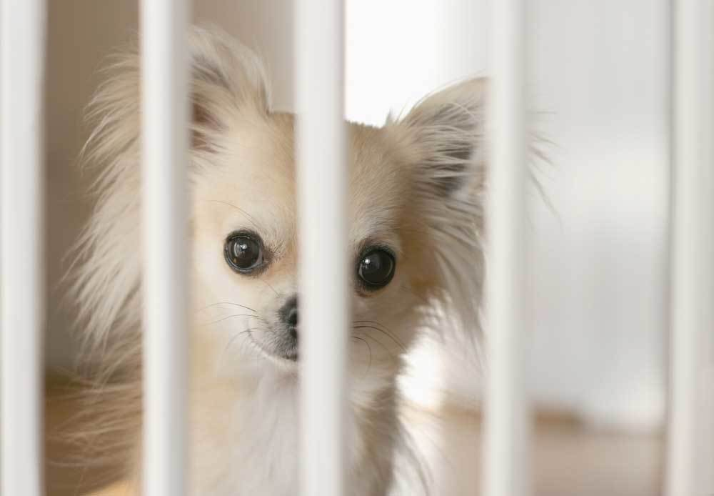 Chihuahua looking through bars of dog gate