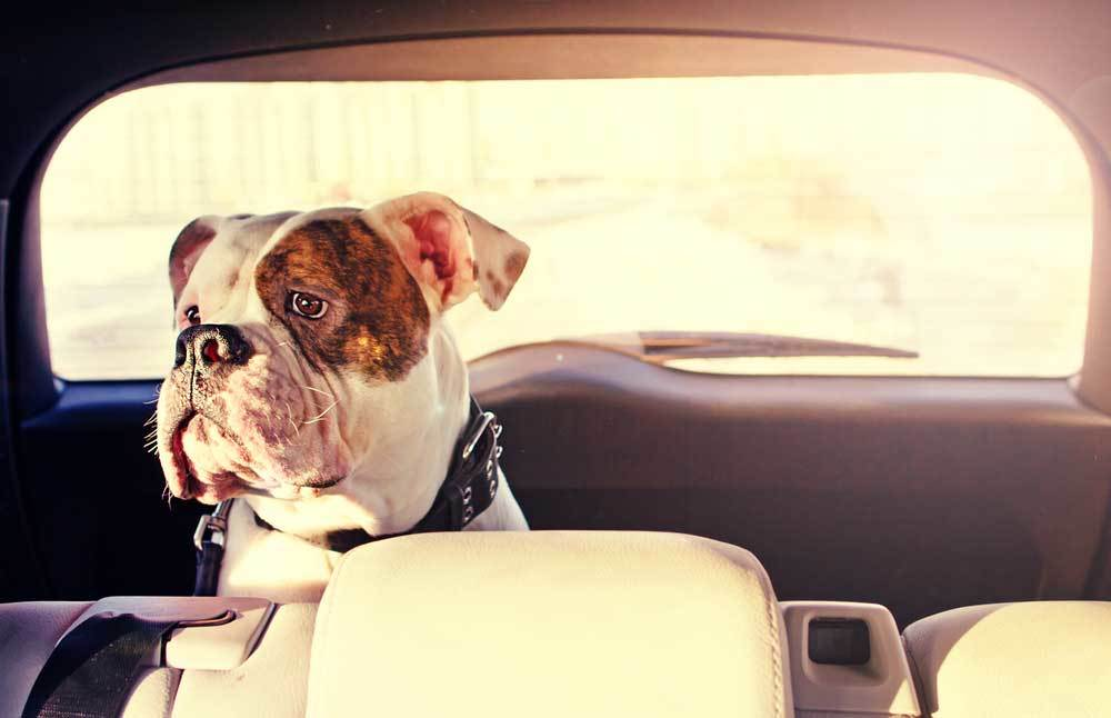 Bull dog in back of car with head looking over the back seat towards the camera