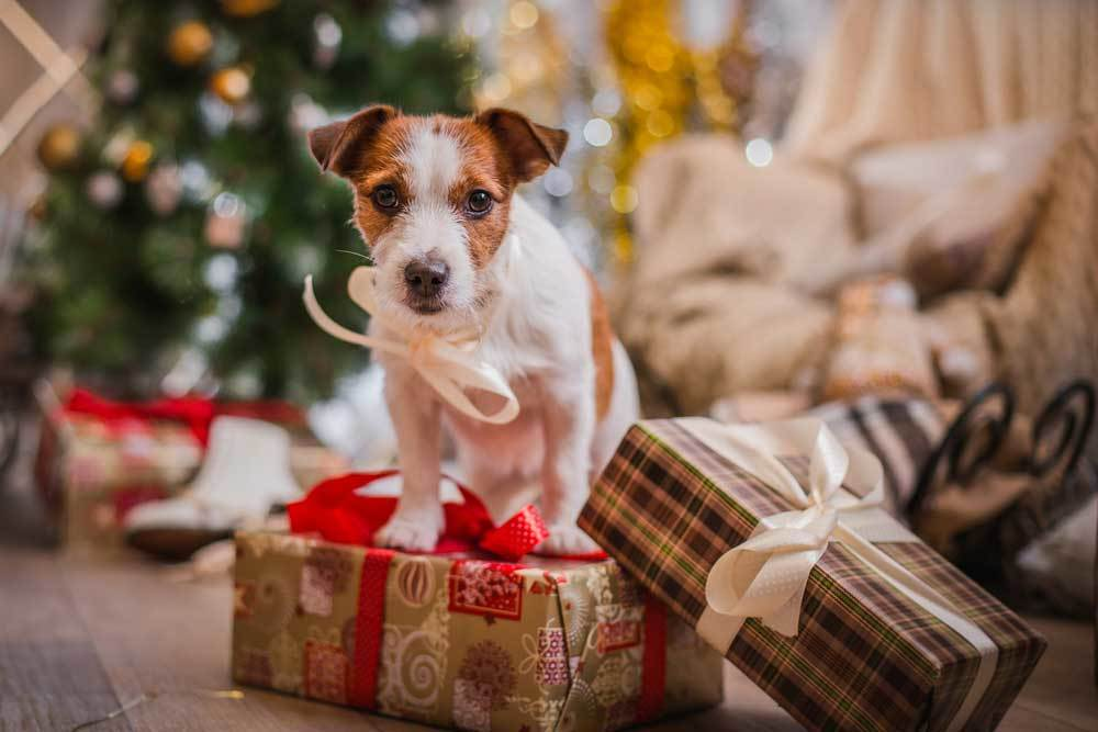 Jack Russell Terrier sitting on christmas present in front of christmas treee
