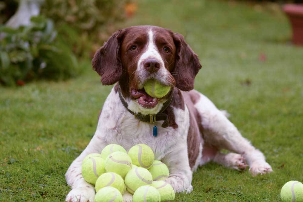 Brown and white dog with a tennis ball in mouth and a mound of tennis balls between it's front feet laying in grass