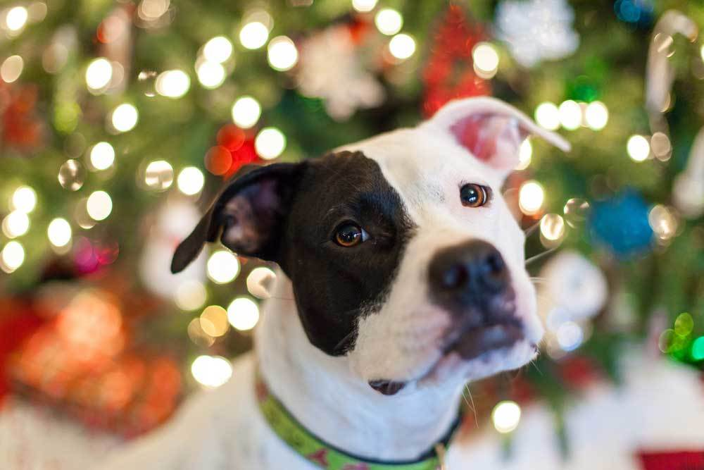 Black and white dog in front of lit christmas tree