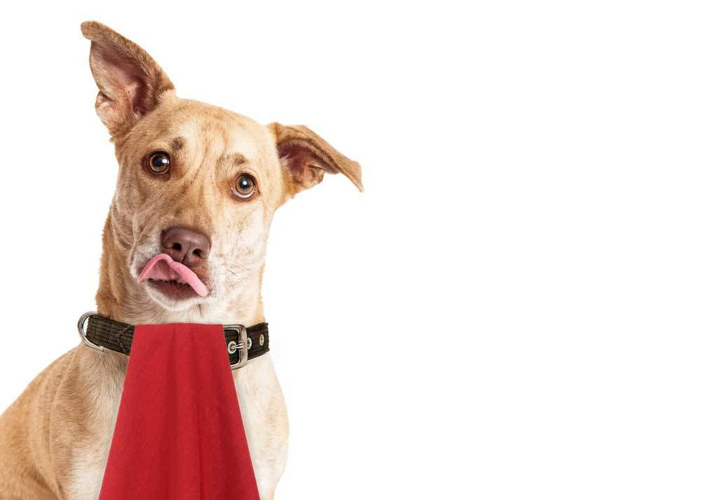 Dog wearing red napkin in collar with head tilted on white background