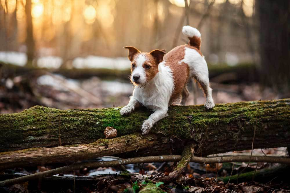 Jack Russell Terrier standing on a fallen tree in the woods