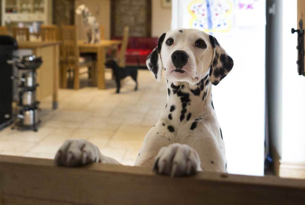 Dalmation with paws on top of pet barrier looking at the camera