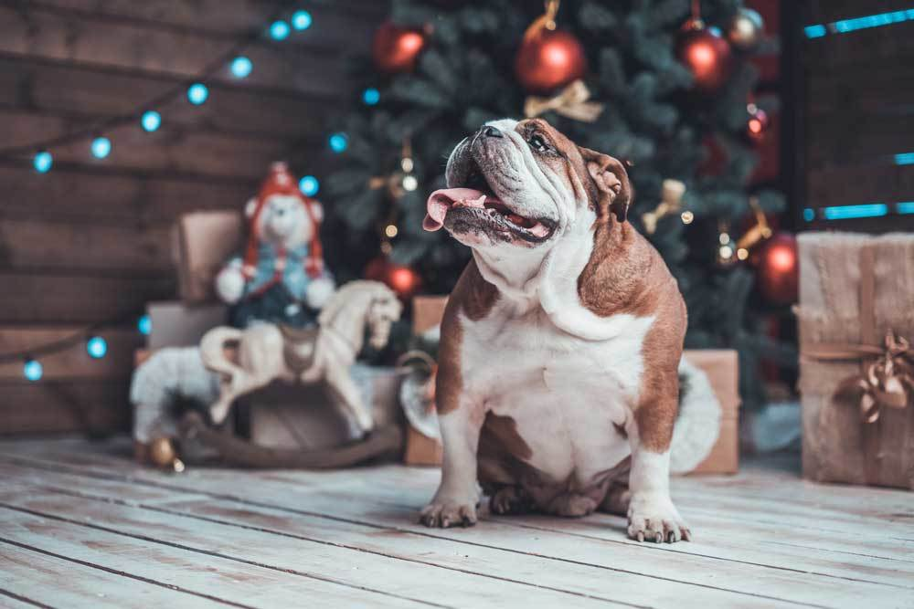 Fat bulldog sitting on wood floor in front of chrismtas tree surrounded by presents