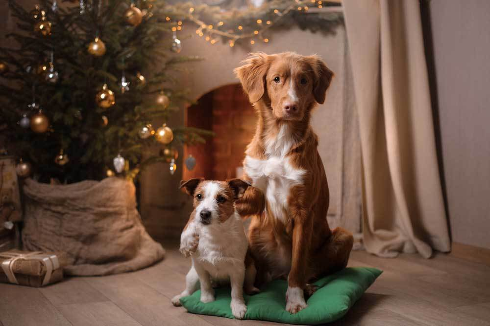 Big dog with paw around jack russel's shoulder in front of christmas tree