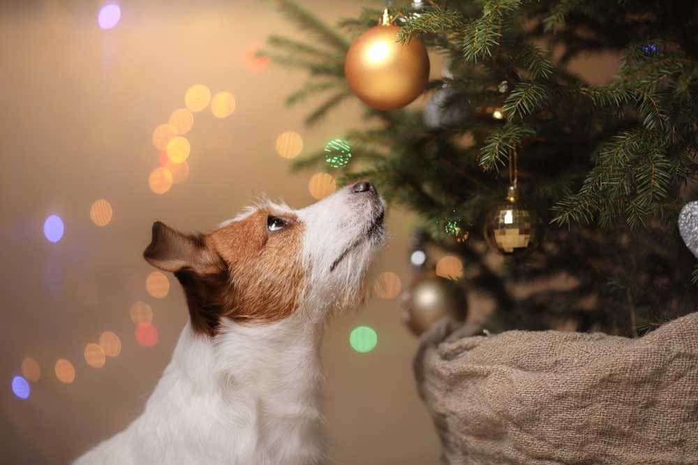 Jack Russel Terrier sniffing christmas tree