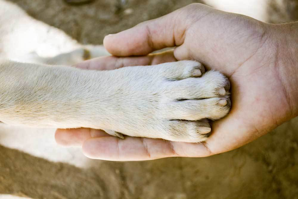 White dog paw in human hand