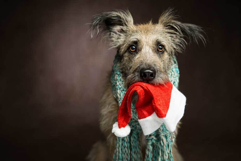 Scruffy dog on brown background wearing scarf with santa hat in mouth