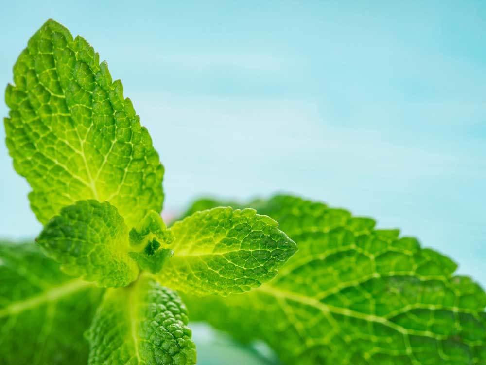 mint leaves on light blue background
