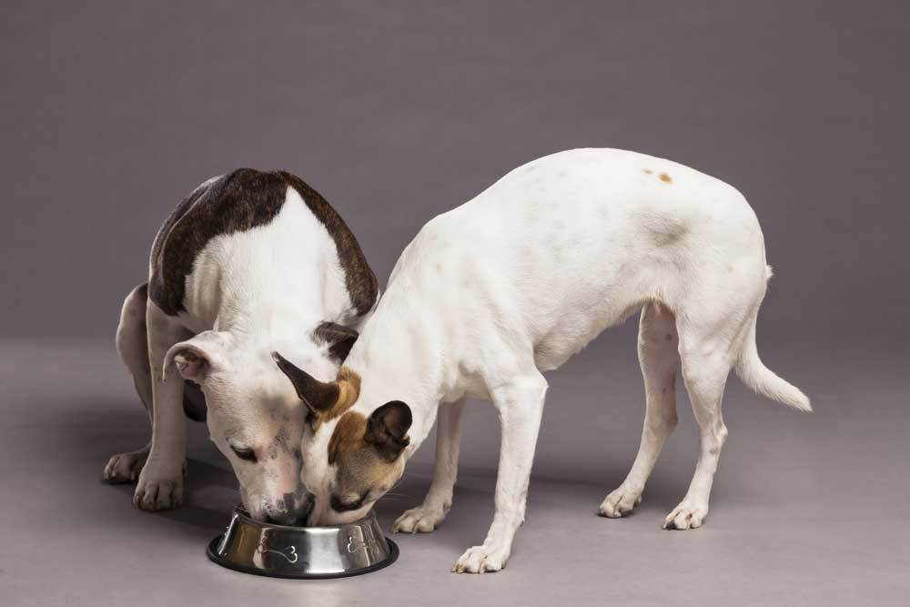 2 dogs eating from same food bowl on grey background