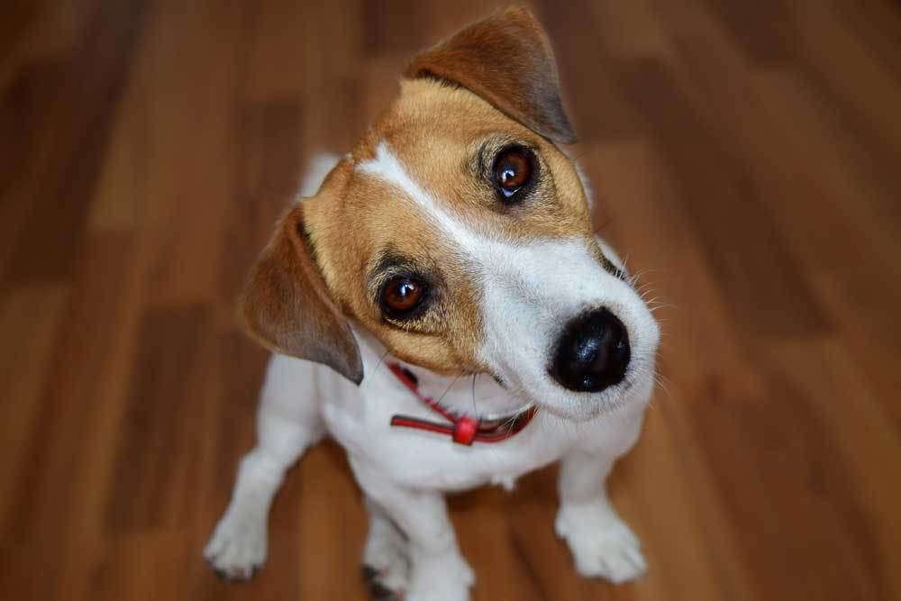 Jack Russell with head tilted
