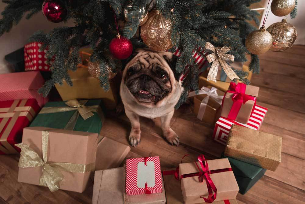 Pug sitting under christmas tree surrounded by gifts