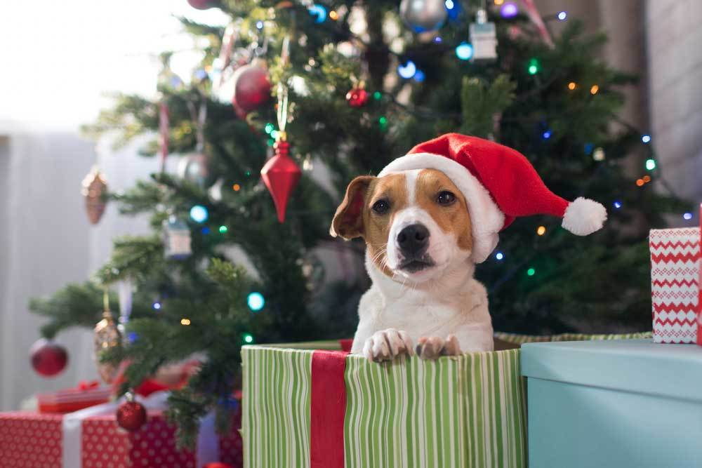 Jack Russel terrier with santa hat on head sitting in gift bag in front of Christmas Tree