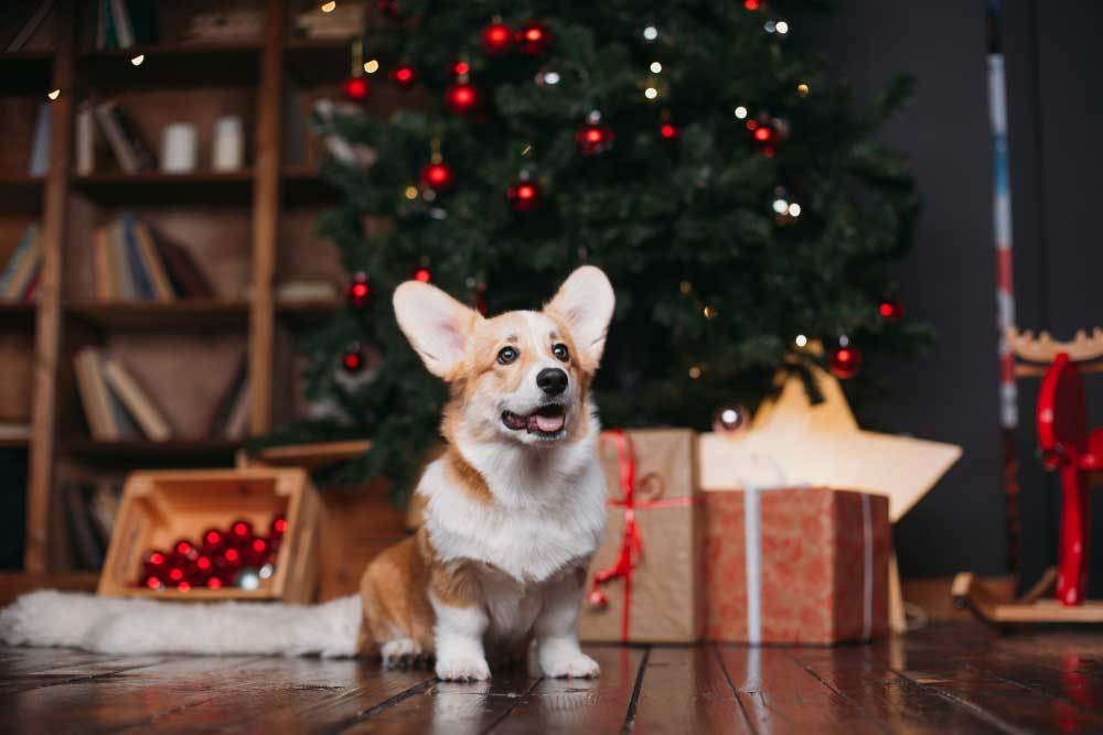 Corgi sitting in front of Christmas tree
