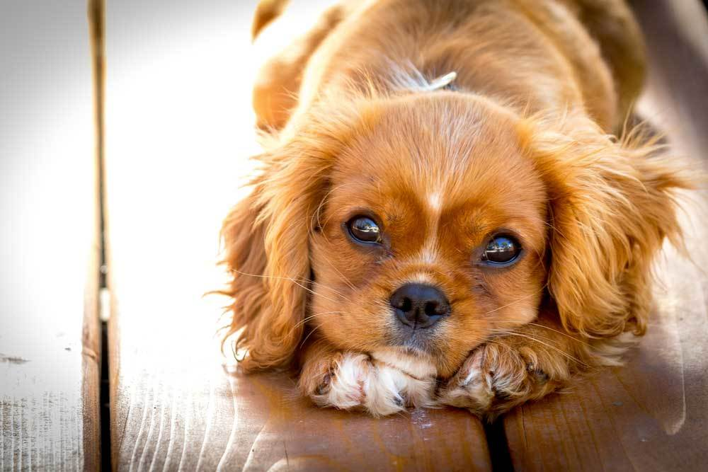 cute dog with head resting on paws of wood floor