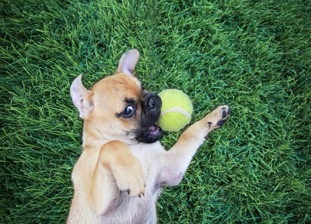 pug puppy laying on its back in the grass trying to get a tennis ball in its mouth that is laying next to its head