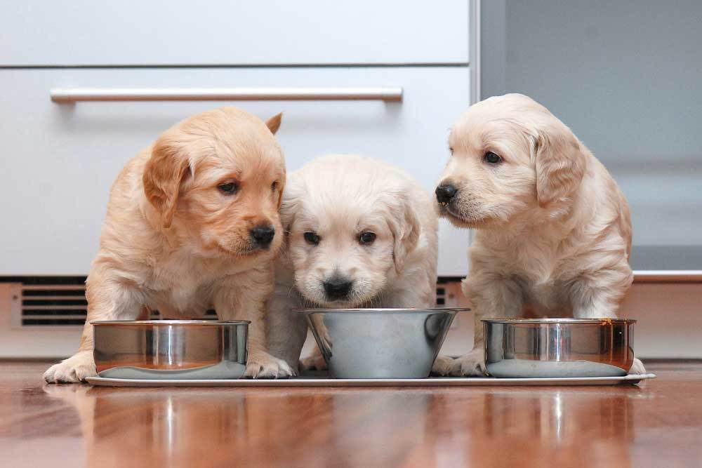 3 small blonde puppies eating from metal food bowls in a kitchen
