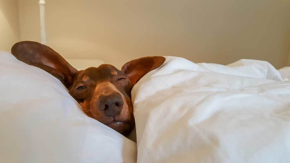 Dachshund sleeping on white fluffy pillow covered with a white comforter
