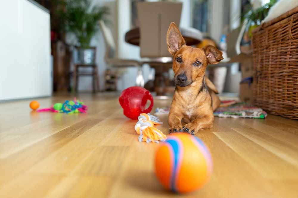 Small dog playing on hard wood floor with dog toys