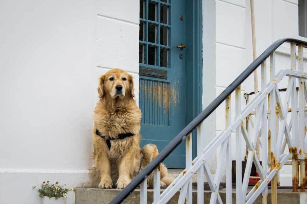 golden retriever sitting on doorstep in front of blue door