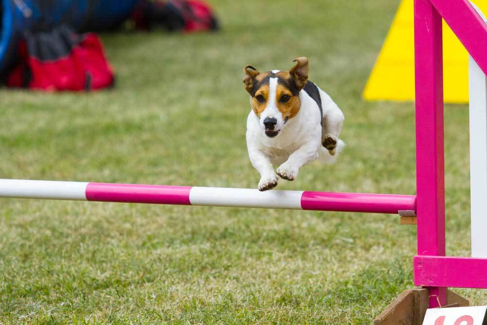 Jack Russell Terrier jumping over pole