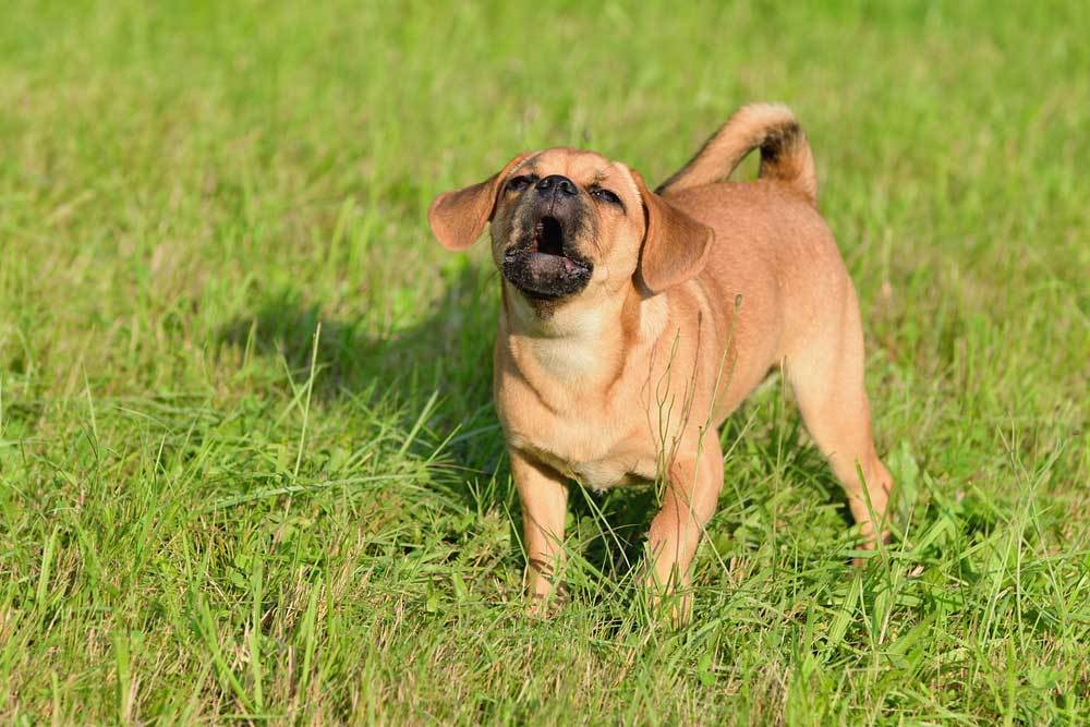 Small dog standing in grass barking
