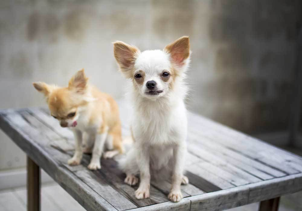 2 Chihuahuas sitting on a wooden table