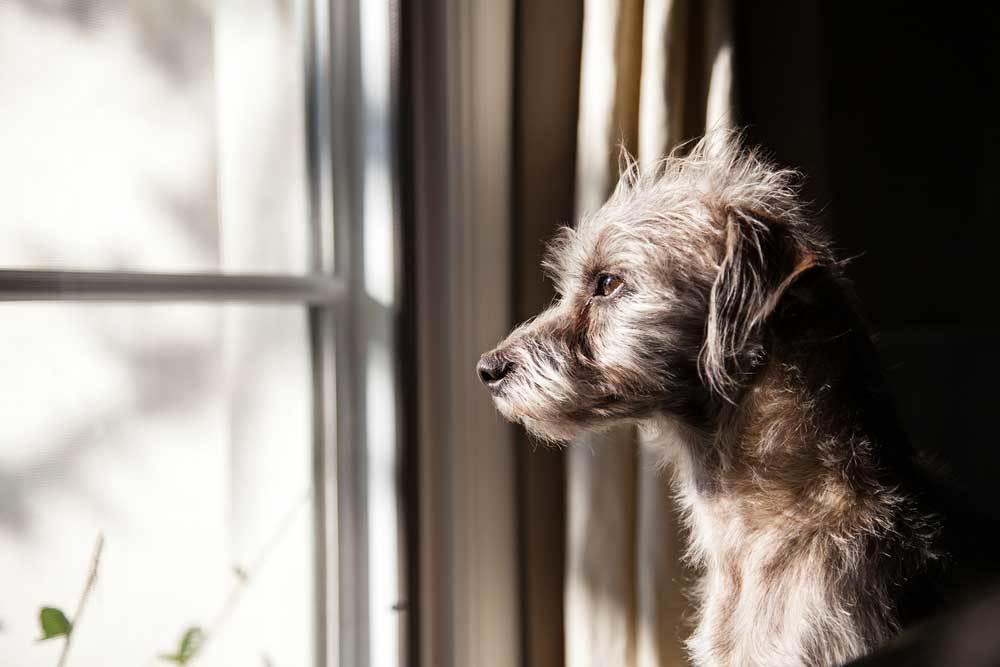 scruffy dog staring out of window