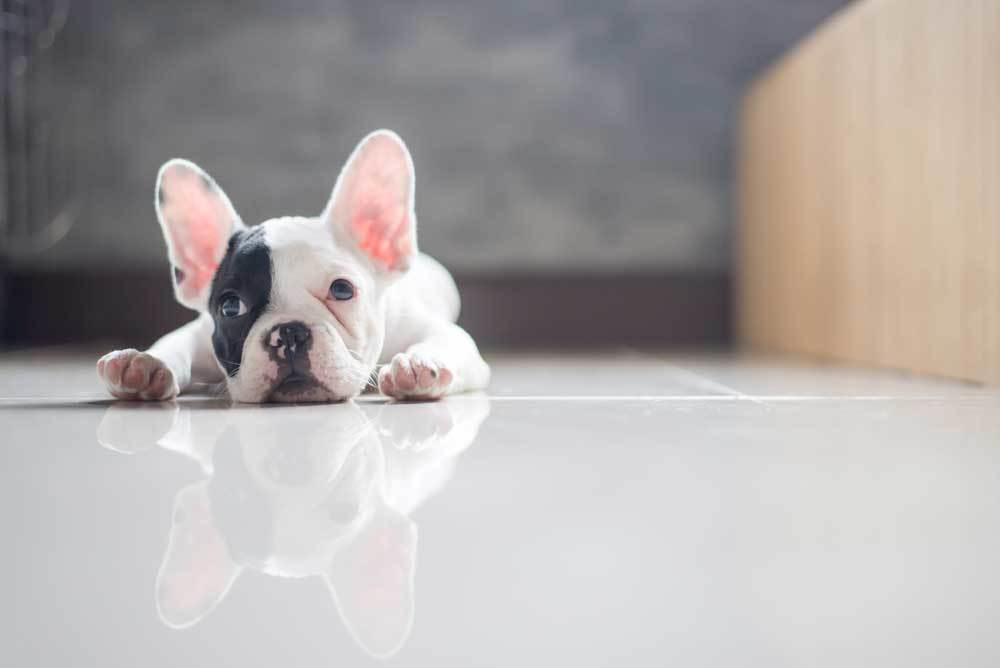 boston terrier puppy laying on shiny white floor