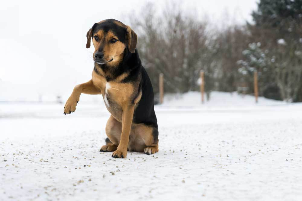 Dog standing in snow with one paw raised as if injured.