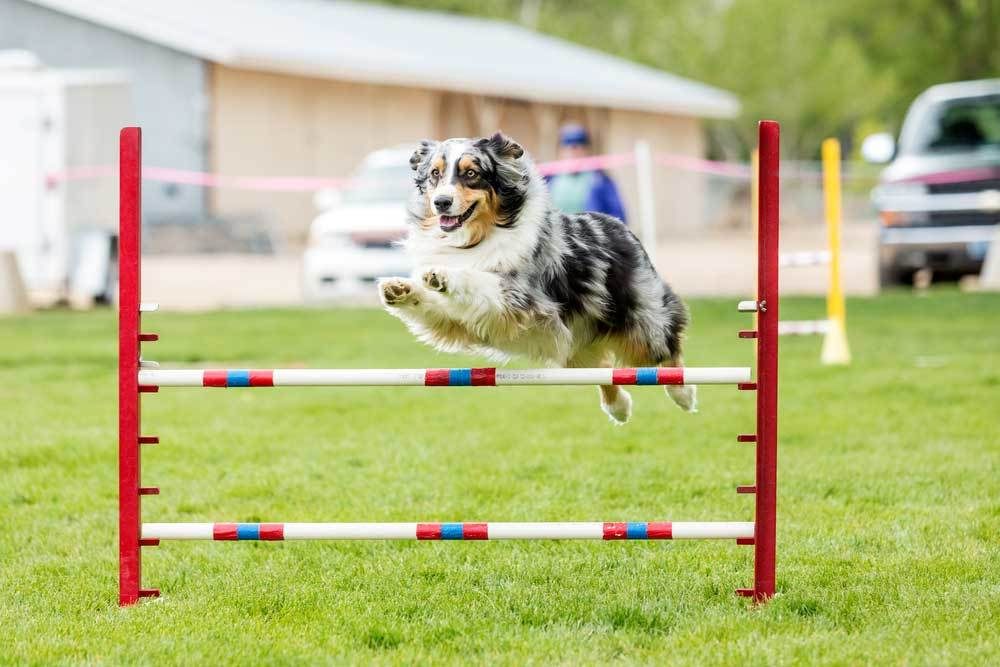 Dog Jumping Hurdles