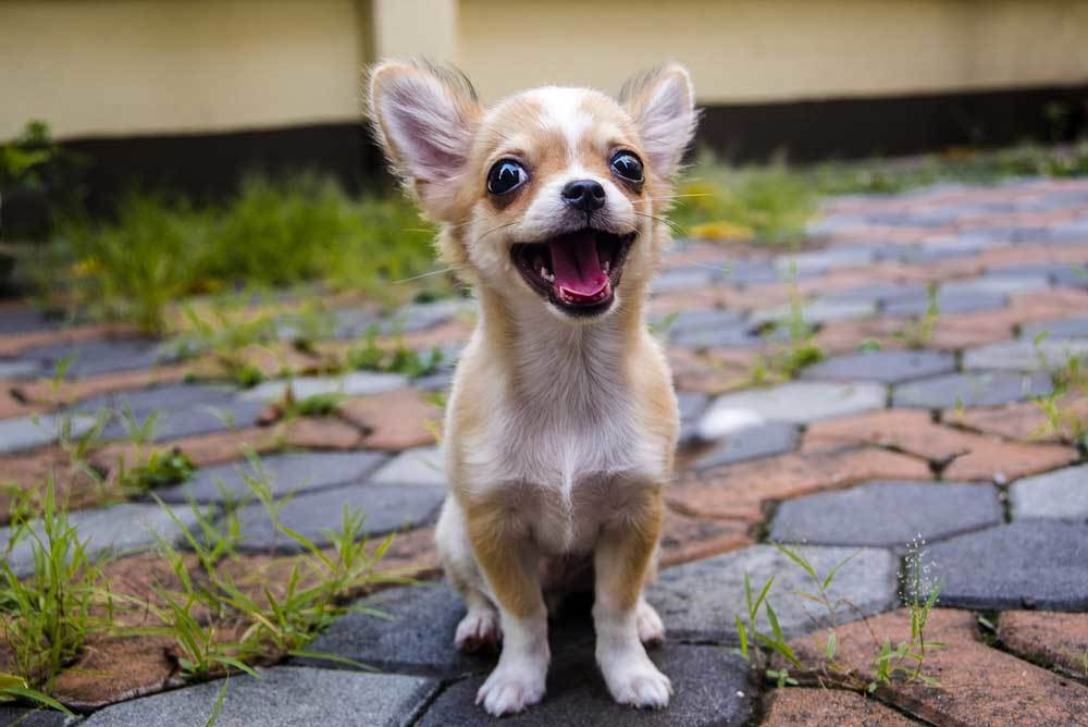 Chihuahua puppy sitting on a stone pathway