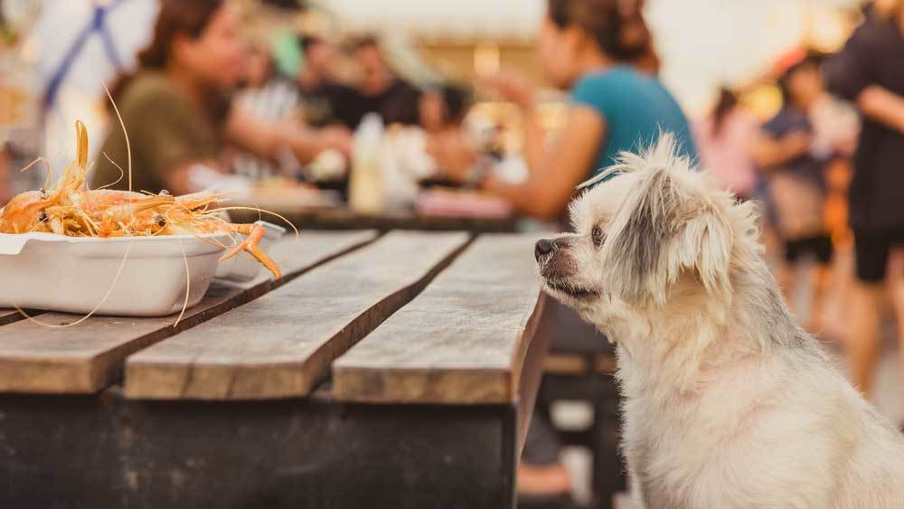 small scruffy dog looking over edge of picnic table looking at plate of seafood.