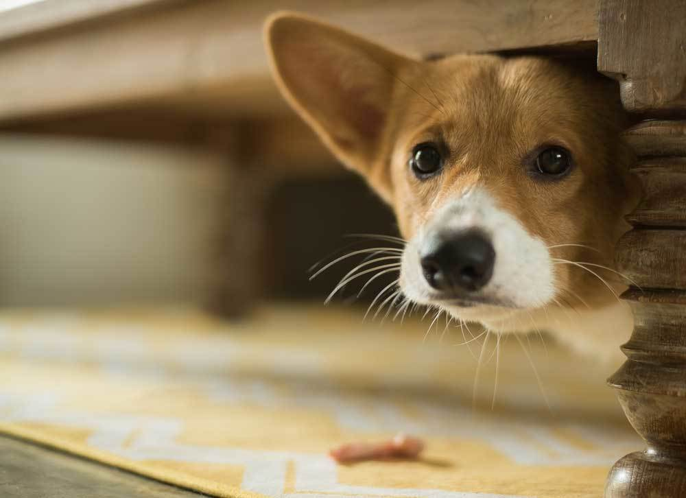 Corgi hiding under piece of furniture with head sticking out