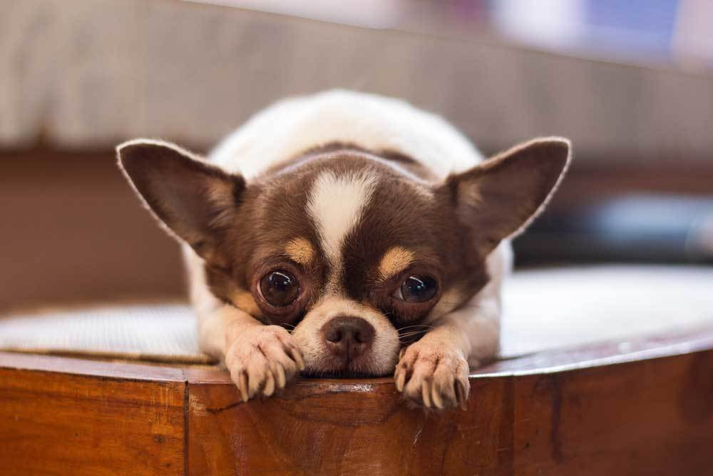 Chihuahua with head laying on paws on a wooden table